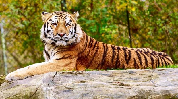 tiger-1548397_960_720