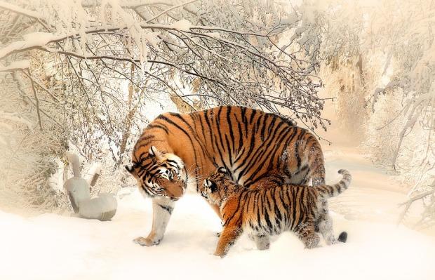 tiger-591359_960_720.jpg
